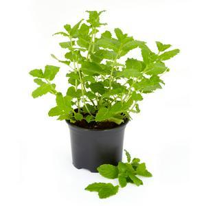 Sainsbury's Fresh Living Mint Pot